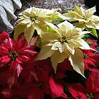 Beautiful Poinsettias by sstarlightss