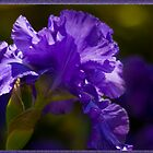 Purple Gladioli by Deborah McGrath