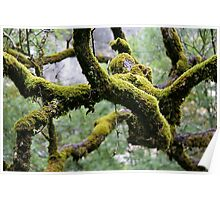 Moss covered branches in a damp forrest Poster
