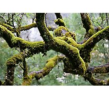 Moss covered branches in a damp forrest Photographic Print