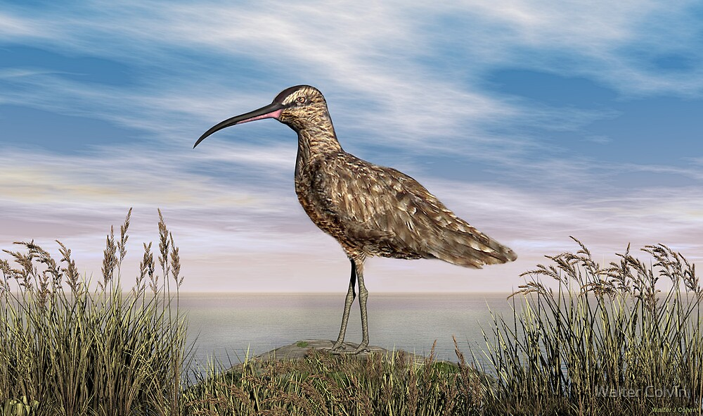 Whimbrel by Walter Colvin