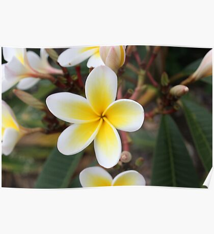 Pretty White and Yelow Frangipanis Poster