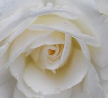 Flushed Out White Rose by MissyD