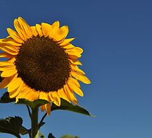 Giant Sunflower by JaninesWorld