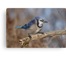 Eye-Sparking Jay Metal Print