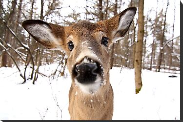 Nosey - White-tailed Deer by Jim Cumming