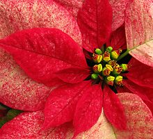 Poinsettia by Nancy Polanski