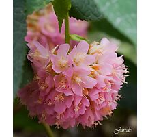 Pink Puff Of Flower Photographic Print