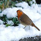 Robin by Stephen Morhall