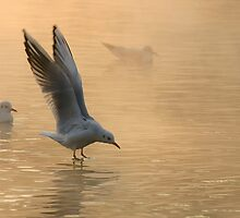 gulls2 by gallofoto