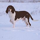 Small Bernese Hound by pmn-photography
