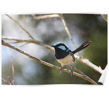 Beautiful Blue Wren Poster