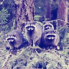 raccoons . tacoma, washington by sara montour