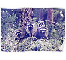 raccoons . tacoma, washington Poster