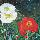 Red and White Poppies Bloom by John Fish