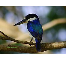 Forest Kingfisher Dec09 Photographic Print