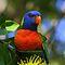 The Birds of Far North Queensland