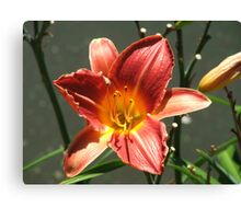 Lily (3778) Canvas Print