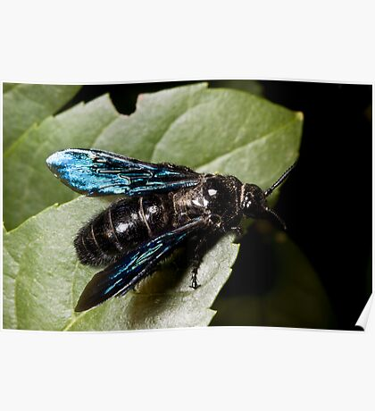 Blue Winged Wasp Poster