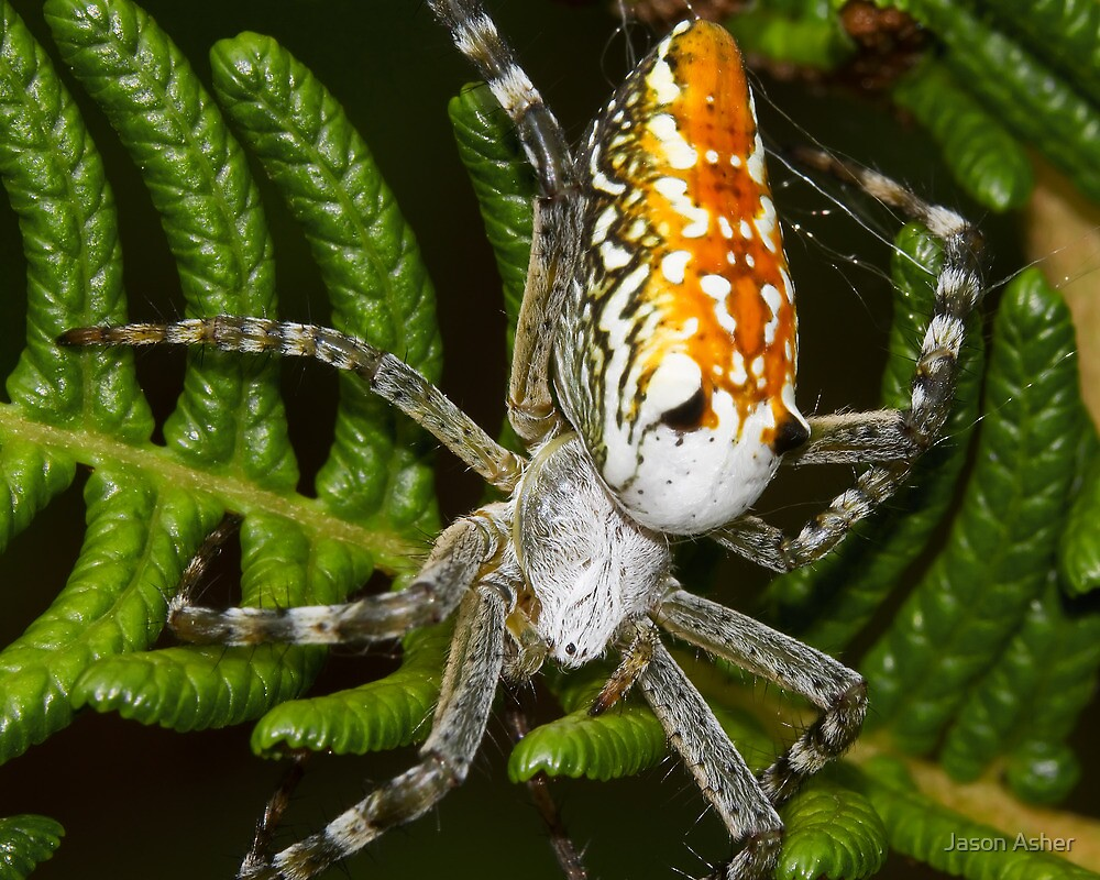 Cyrtophora moluccensis by Jason Asher