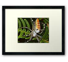 Cyrtophora moluccensis Framed Print