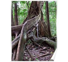 Tree roots - Daintree Rainforest, Far North Queensland Poster
