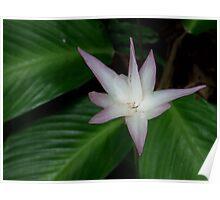 Star flower - Far North Queensland Poster