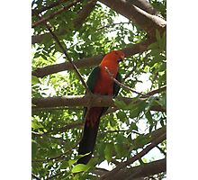 Australian King Parrot, male. Photographic Print