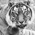 Black and White Tiger photo. by Clickerpic