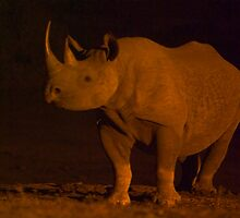 BLACK RHINO - ADDO, STH AFRICA by hugo