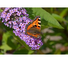 Butterfly on my Buddleia Photographic Print