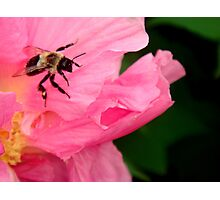 Peony and bee Photographic Print