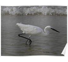 white morph Reddish Egret Poster