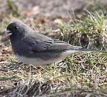 Slate-colored Junco by Dennis Cheeseman