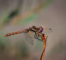 Red Veined Meadowhawk Dragonfly by John Absher