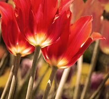 Red Tulip by GalleryThree