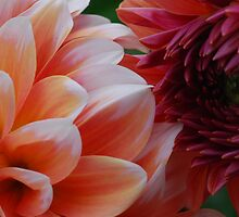 Kissing Dahlias by Octoman