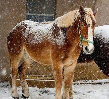 Snow Covered Horse by Mark Van Scyoc