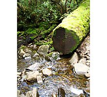 Myrtle Forest - massive fallen trees Photographic Print