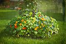 Lush Flower Bed - Nasturtium by Yannik Hay