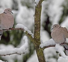 A pair of Collared Doves in the snow by Hugh J Griffiths