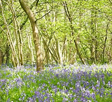 Bluebell path. by FraserJ