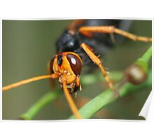 Cryptocheilus  bicolor Poster