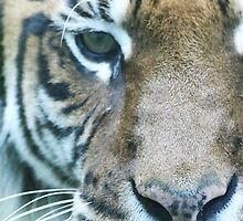 Tiger Face by Clickerpic