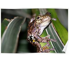 Emerald Spotted Tree Frog - Litoria peronii Poster
