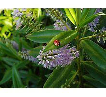 Little Ladybird Photographic Print