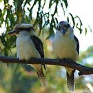 Kookaburras by Alicia  Liliana
