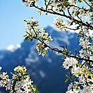 Apple Blossoms Frame the Rockies by Lisa Knechtel