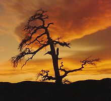 Sinister Tree at Sunset by AzCactus