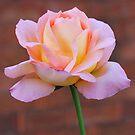 Soft Peach by Penny Smith